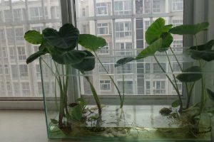 家庭种植芋头的方法