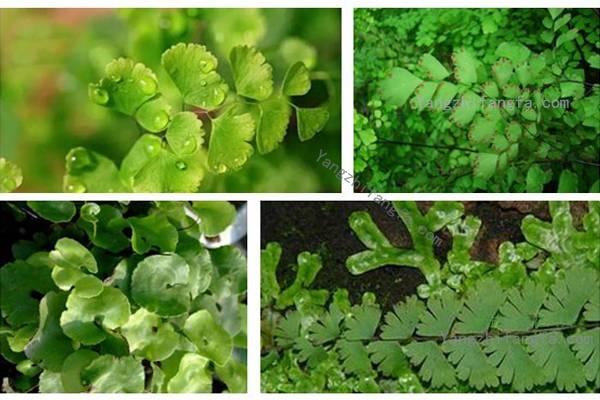 铁线蕨常见品种