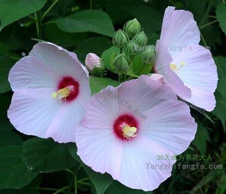 芙蓉葵的养殖方法及注意事项