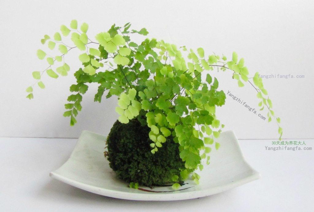 铁线蕨的家庭养殖方法和注意事项