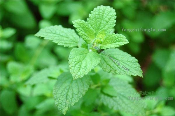 吸毒草的养殖方法和注意事项