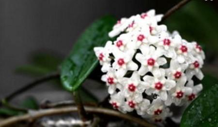 斑叶球兰的养殖方式及注意事项