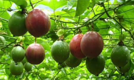 阳台种植百香果的方法