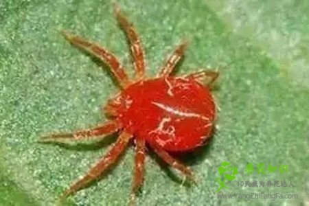 一串红的虫害防治