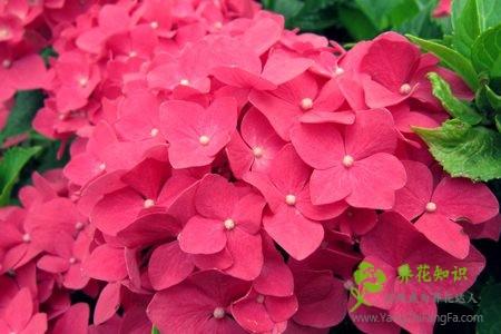怎样让八仙花(绣球花)在春节开放