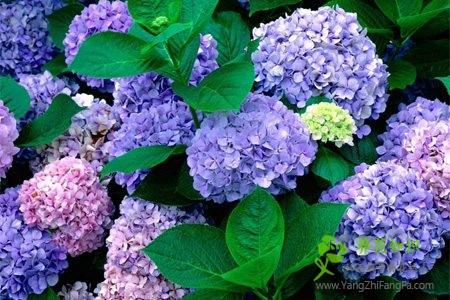 八仙花(绣球花)的养殖方法和注意事项