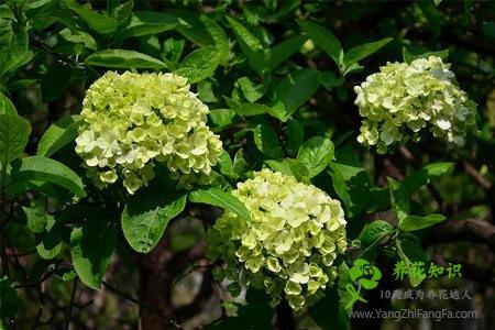 八仙花(绣球花)常见盆栽品种