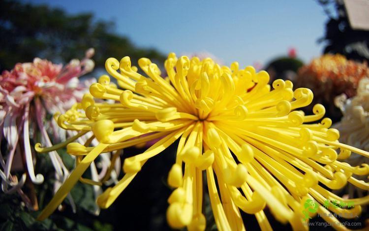菊花叶子发黄的防治方法