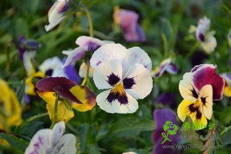 蝴蝶花的繁殖方法及注意事项