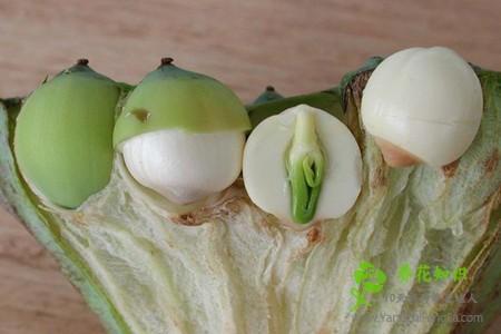 荷花种子的种植过程