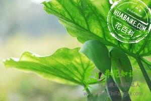 滴水观音叶子发黄的原因和预防办法