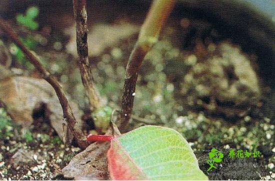 盆栽花木烂根识别救治