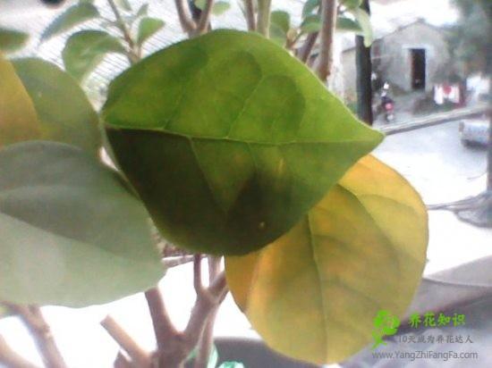 三角梅叶子发黄的原因及解决方法