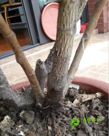 橡皮树烂根怎么办?