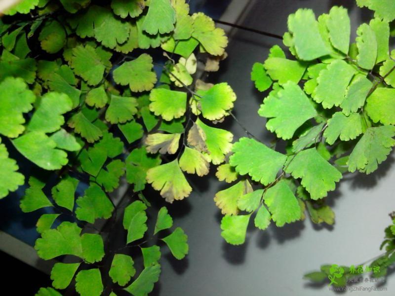 铁线蕨叶子发黑、焦边怎么办