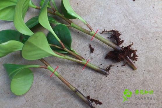 豆瓣绿烂根的原因及解决方法