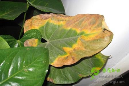 红掌叶子发黄焦边干枯是怎么回事