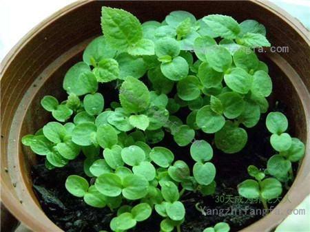 猕猴桃种子可以种植小盆栽吗