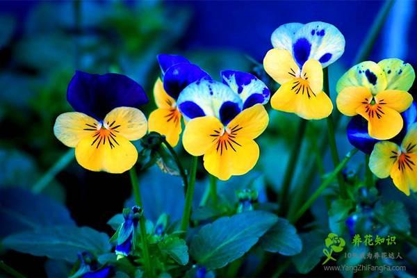 蝴蝶花的养殖方法