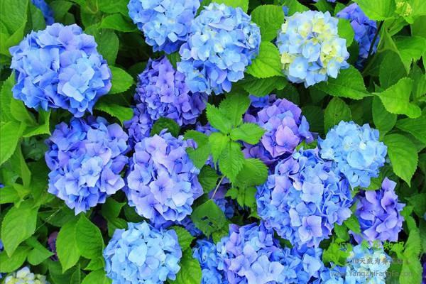 如何让八仙花(绣球花)开蓝花