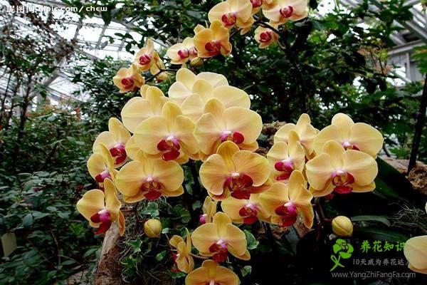 蝴蝶兰不开花或枯蕾的原因