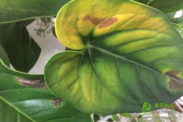 水培红掌叶子发黄怎么办