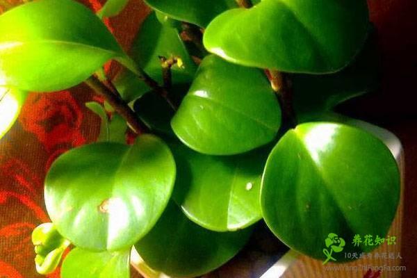 豆瓣绿叶子发软、发黑怎么办