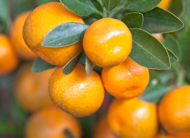 金橘、观赏金橘的养殖方法与注意事项