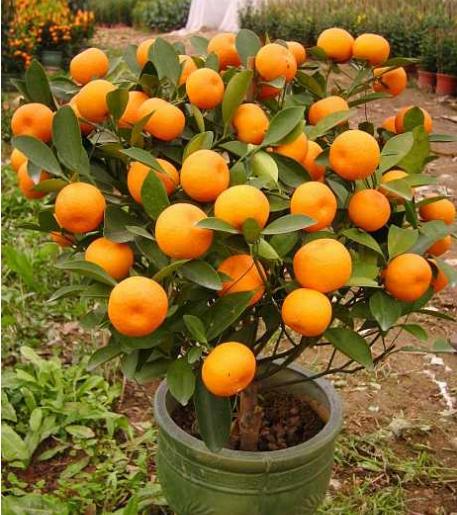怎么防治金橘炭疽病