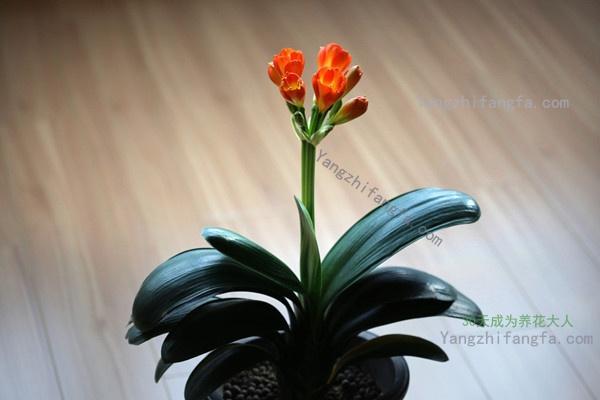 君子兰开花,如此好兆头!
