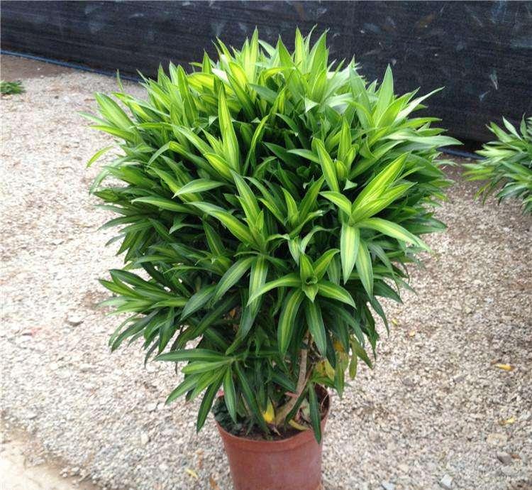百合竹的养殖方法和注意事项