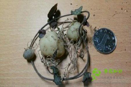 爱之蔓的土豆根有什么作用?