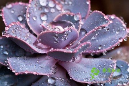 紫珍珠长虫了怎么办?