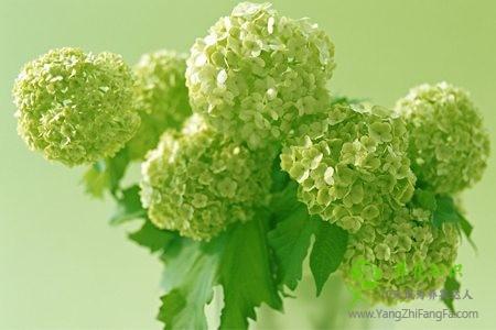 八仙花(绣球花)的切花怎么保鲜
