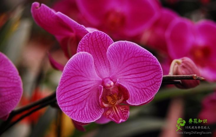 蝴蝶花促进开花和延时开花的方法