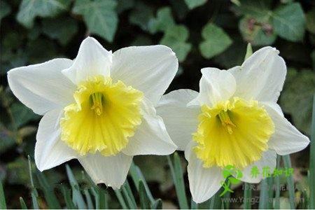 水仙花有哪些种类