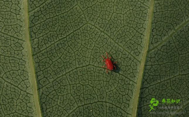 兜兰的虫害防治方法
