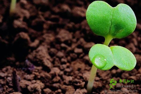 盆栽荷花施肥要点