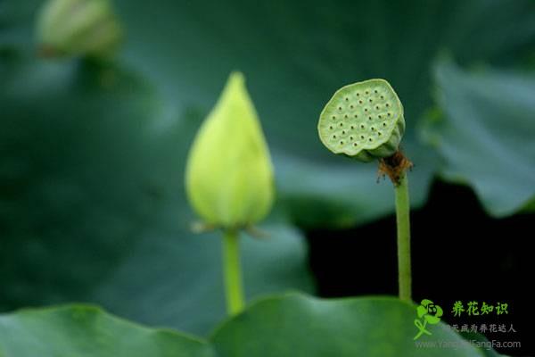 盆栽荷花为什么不现蕾不开花
