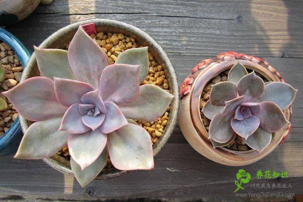 多肉植物紫珍珠和初恋怎么区别