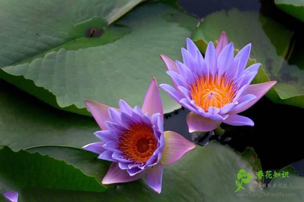睡莲的培养方式及环境的影响