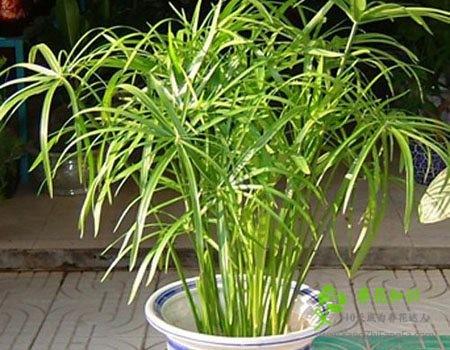 旱伞草(水棕竹)的养殖方法