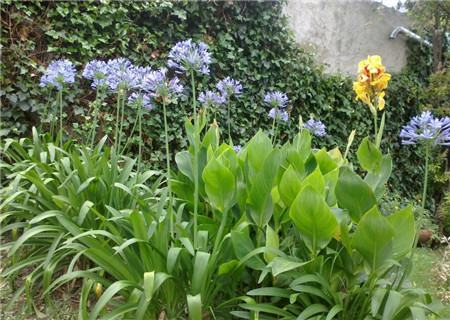 百子莲的家庭养殖方法和注意事项