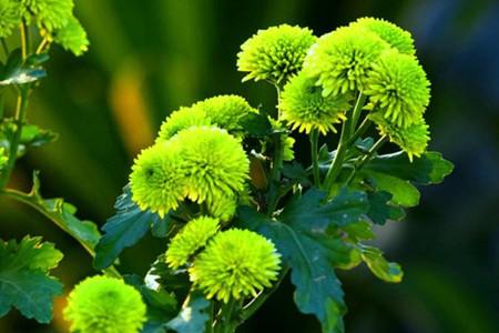 绿菊花的养殖方法和注意事项