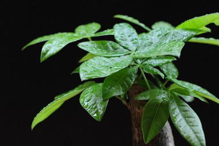 发财树小盆栽怎么养