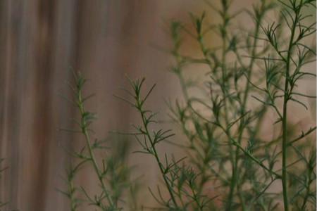 风滚草在中国叫什么,怎么吃