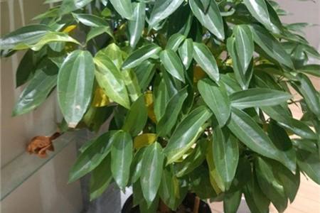平安树叶子发黄掉落怎么办